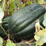 pumpkin-2711554_960_720